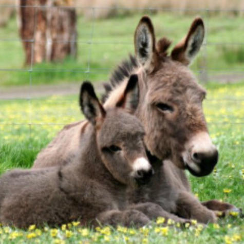 Donkey Society of Victoria
