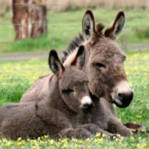 Donkey Society of Victoria