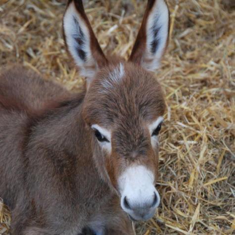 Clovercrest Miniature Donkey Stud Peter & Marion van Dijk