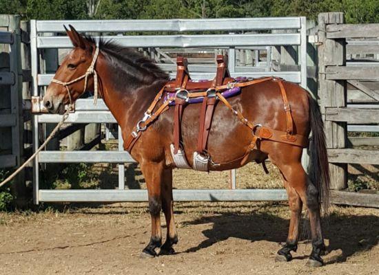Mule / Hinny